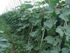 儋州光村益丰黑皮冬瓜种植专业合作社