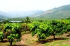 三亚斯顿芒果农民专业合作社
