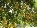 金柚的采收与分级