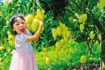 昌江芒果飘香游月中启动 20多种芒果美食来袭