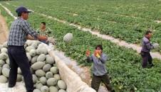 新疆阿勒泰晚熟甜瓜上市