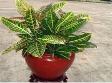海南变色叶木净化空气吸甲醛盆栽花卉植物