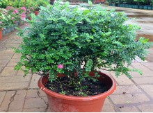 海南花卉室内盆栽清香木四季长青植物