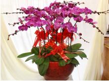 蝴蝶兰盆栽祝福开业花卉海南鲜花11珠