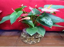 盆栽花卉水培水生花红掌四季开花