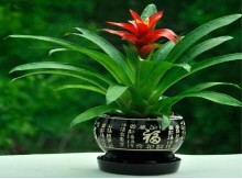 凤梨花小红星 四季开花卉室内客厅植物