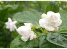 芳香花卉茉莉花庭院阳台种植