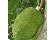 菠萝蜜50斤装