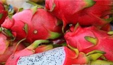 火龙果种植扩展迅速 严把质