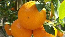 近期柑橘类交易占主角 樱桃